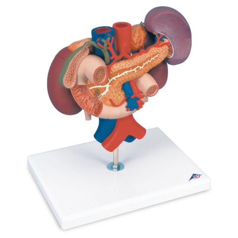 腎臓・膵臓周辺器官モデル