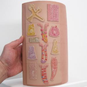 各消化器官の代表的な組織と細胞