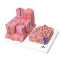 肝臓の組織構造モデル