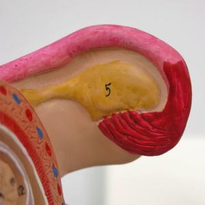 卵巣・卵管