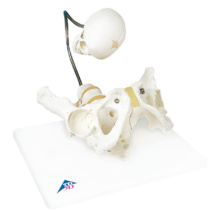 分娩デモンストレーション用骨盤モデル
