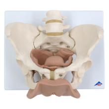 骨盤,生殖器付・3分解モデル,女性