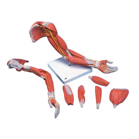 上肢の筋肉,実物大・6分解モデル