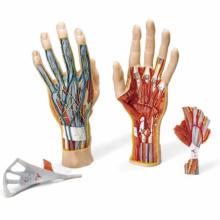 手の構造,3分解モデル