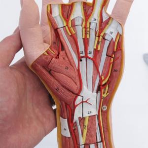 手掌腱膜を取り外した状態