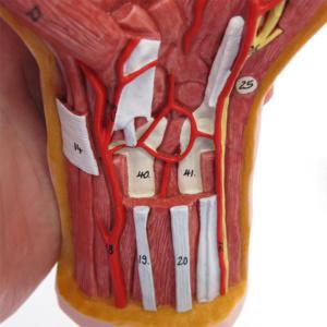 橈骨・尺骨周辺の筋
