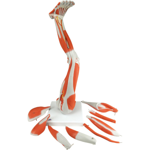 下肢の筋肉,3/4倍大・9分解モデル