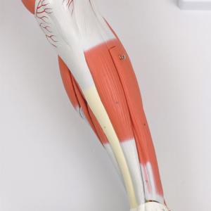 下腿:正面