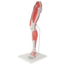 下肢の筋肉,実物大・7分解モデル