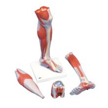下腿,膝付,実物大・3分解モデル