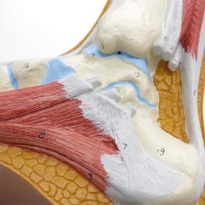 骨,筋,靭帯などを立体的に表現