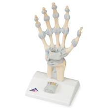 手関節,靭帯付モデル
