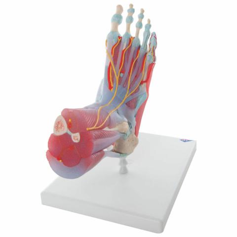 足関節,筋・靭帯付モデル,6分解モデル