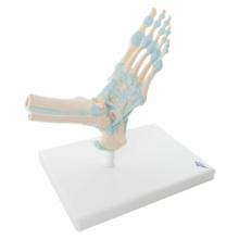 足関節,靭帯付モデル