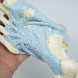 長足底靱帯や長腓骨筋腱など