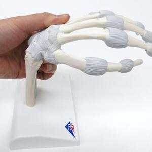 手首は掌屈・背屈が可能です