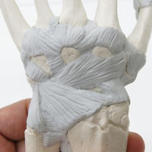 手根骨・中手骨の靭帯(甲側)