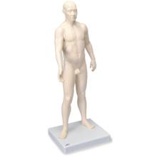鍼灸経穴モデル