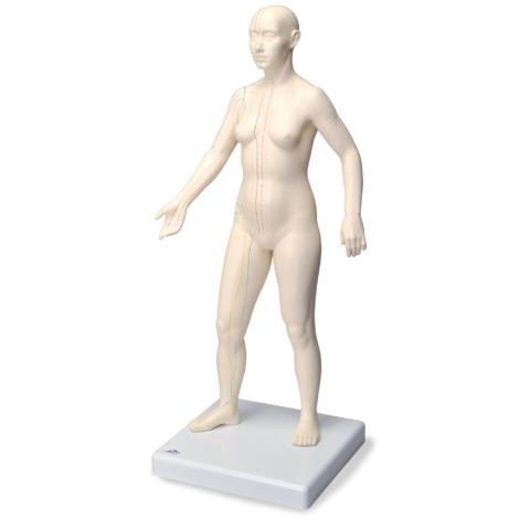鍼灸経穴モデル,女性