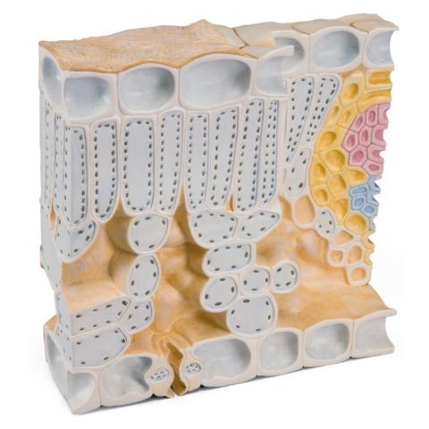 葉の構造ブロックモデル