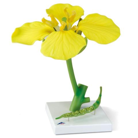 アブラナの花モデル