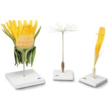 セイヨウタンポポの花モデル