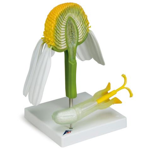 カミツレ(カモミール)の花モデル