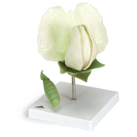 エンドウの花モデル