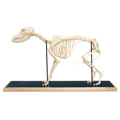 イヌの全身骨格標本