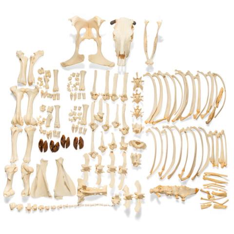 ウシの全身骨格標本,ツノ無し・分離