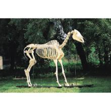 ウマの全身骨格標本