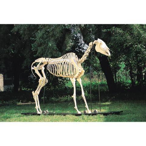 ウマの全身骨格標本,メス