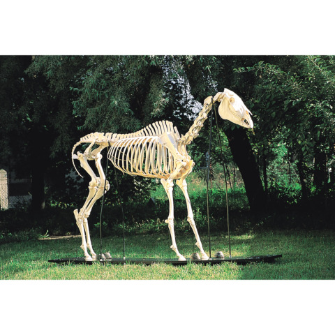 ウマの全身骨格標本,オス