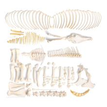 ウマの全身骨格標本,オス・分離