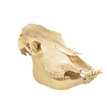 ウシの頭蓋骨標本,ツノ無し