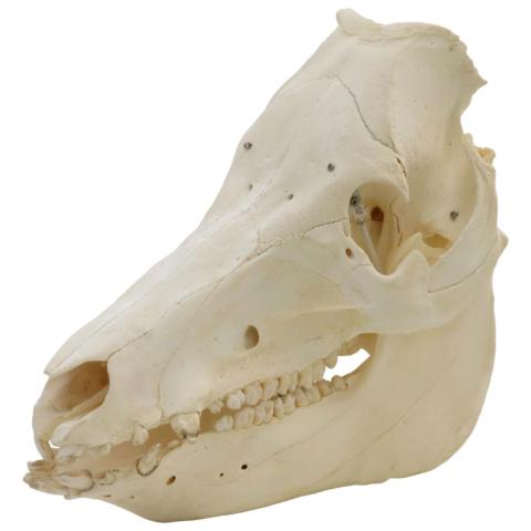 ブタの頭蓋骨標本,メス