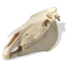 ウマの頭蓋骨標本