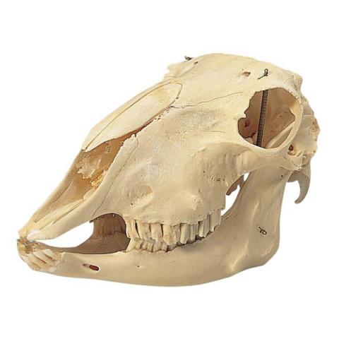 ヒツジの頭蓋骨標本,メス