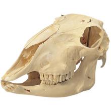 ヒツジの頭蓋骨標本,オス