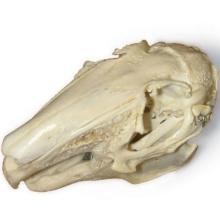 ウサギの頭蓋骨標本