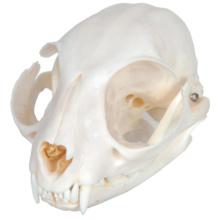 ネコの頭蓋骨標本