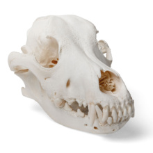 イヌの頭蓋骨標本