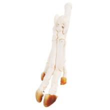 ブタの手または足の骨格標本