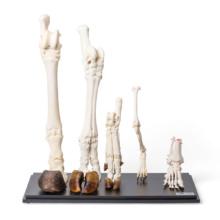 哺乳類の後肢骨標本セット