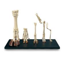 哺乳類の前肢骨標本セット