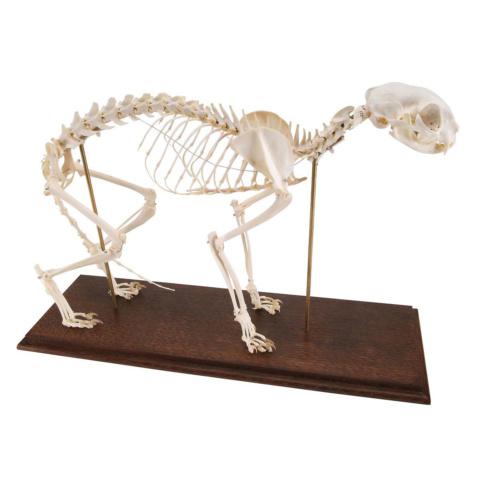 ネコの全身骨格標本