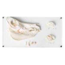 哺乳類の歯の標本セット,デラックス