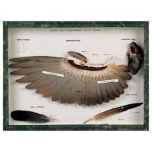 ハトの羽標本