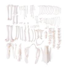 アヒルの全身骨格標本,分離