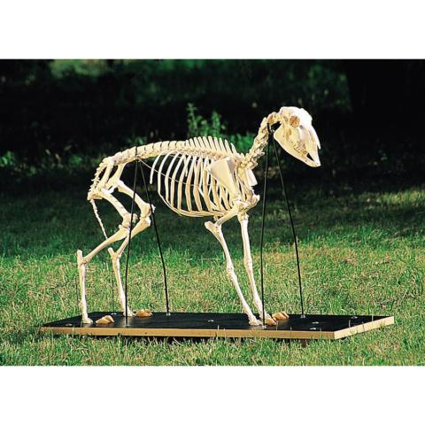 ヒツジの全身骨格標本,メス